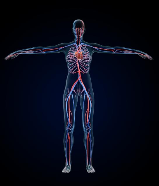 循環器系解剖イメージ